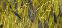 CRB Céréales à paille ©Florilège